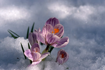 Crocus blossom peeking through snow spring portrait
